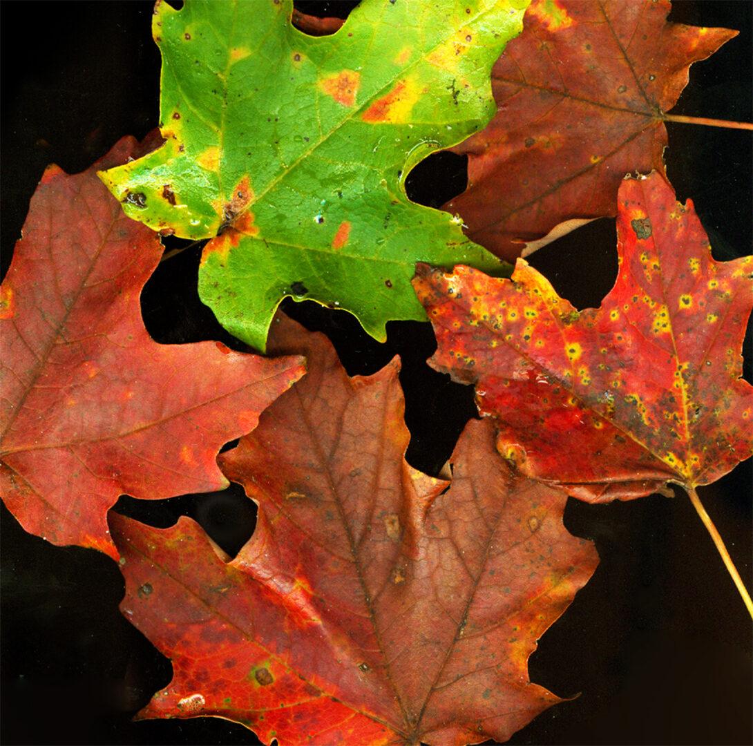 Fall-leaves 1.